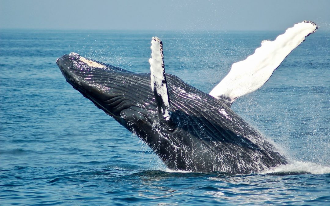 Bitcoin Whales' Count Touches All-time High